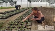 Bắc Giang: Ứng dụng công nghệ cao, tăng hiệu quả vụ hoa Tết