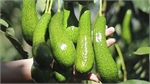 Vietnam tries to get US export licence for avocados