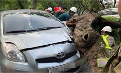 Cây phượng bất ngờ đổ đè trúng ô tô đang lưu thông trên đường Thanh Niên