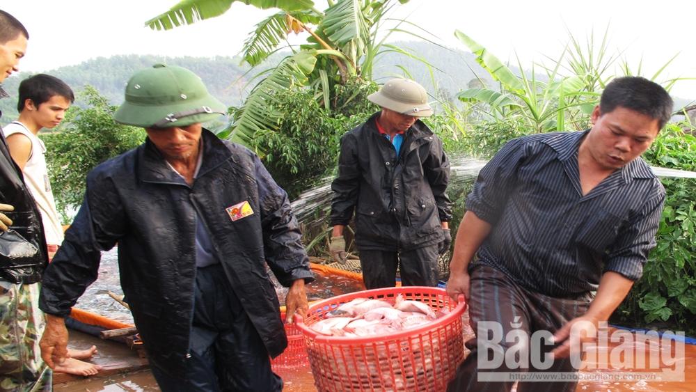 Thương nhân thu mua cá tại thôn Tĩnh Lộc, xã Nghĩa Trung (Việt Yên).