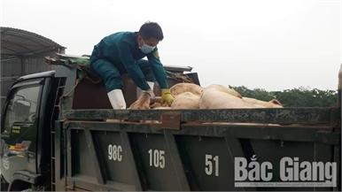 Gần 300 tỷ đồng hỗ trợ người dân bị thiệt hại do dịch tả lợn châu Phi