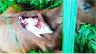 """Bí ẩn """"quái thú"""" giết bò hàng loạt trong rừng Pù Luông khiến người Mường khiếp sợ"""