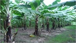 50 hectares of land in Yen Dung hired to grow banana for export