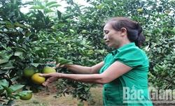 Lục Ngạn: Tiêu thụ hơn 3 nghìn tấn cam, bưởi, giá tăng so với năm ngoái