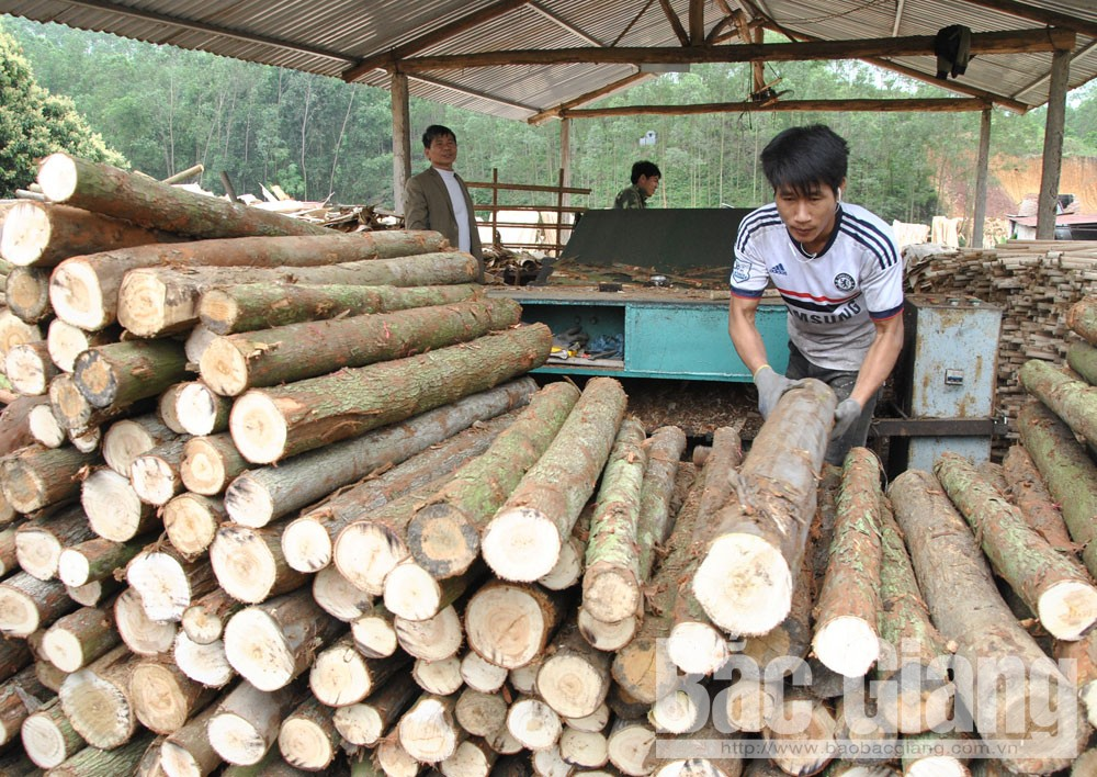 bắc giang, giá gỗ giảm, gía gỗ giảm, các chủ rừng, cơ sở sản xuất gặp khó