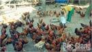 Hiệp Hòa chuẩn bị khoảng 1,4 triệu con gà phục vụ Tết Nguyên đán