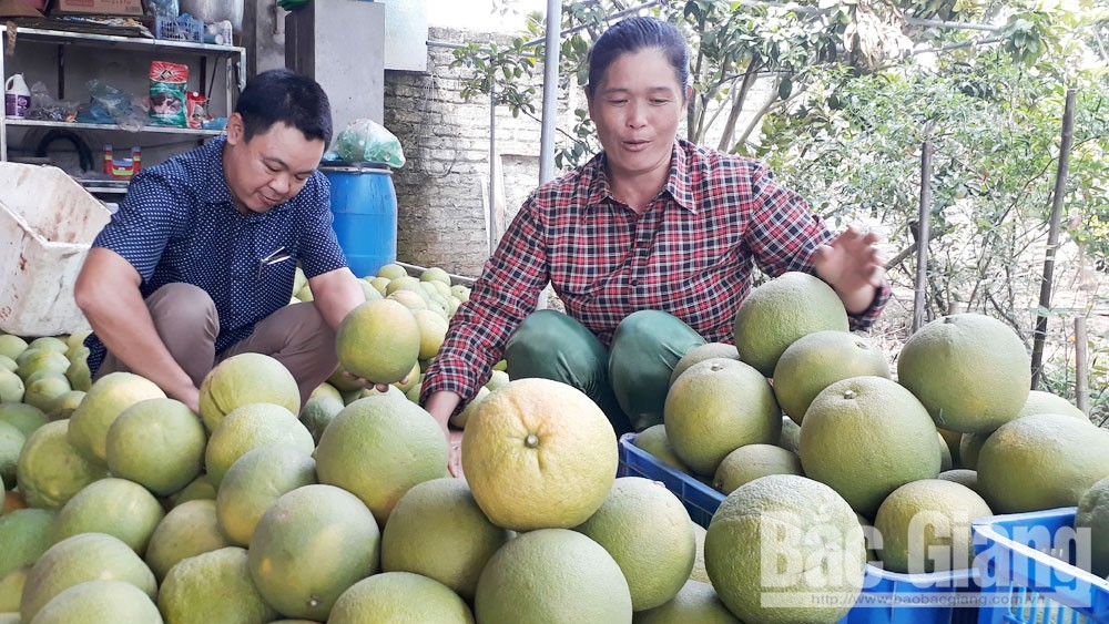 Pomelo billionaire, Trai Ca barren, Bac Giang province, Yen The district, Nguyen Thi Hoai Anh, green pomelo orchards, big concentrated production area