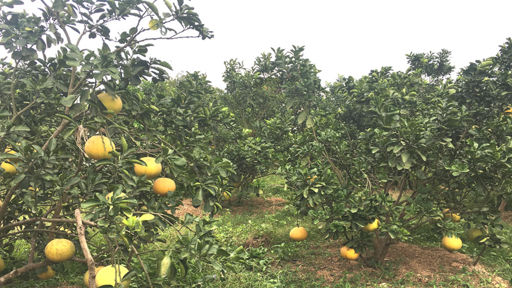Tan Yen district, Bac Giang province, fruit cultivation, VietGAP procedure,  VietGAP standard