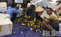 Lục Ngạn: Tiêu thụ hơn 21 nghìn tấn cam, bưởi