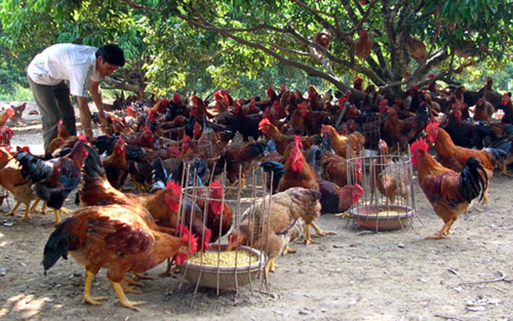 Expanding market, Yen The hill chicken, Bac Giang province, free range chicken, breed standardisation, safe breeding procedure, value chain