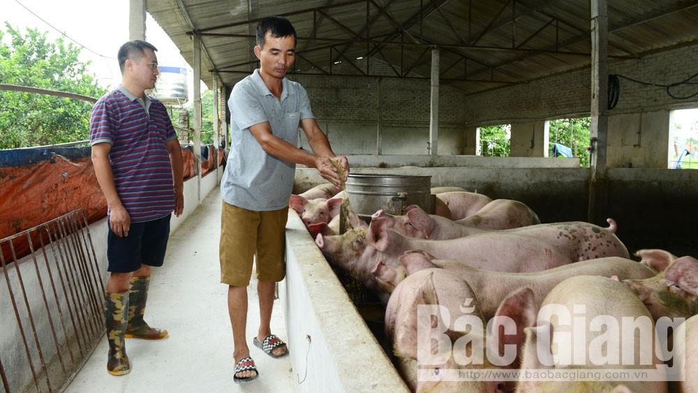 Dịch tả lợn châu phi, lợn chết do mắc bệnh dịch tả lợn châu Phi