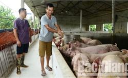 Bắc Giang: 10 ngày toàn tỉnh chỉ có 1 con lợn bị chết do dịch tả lợn châu Phi