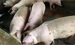 Bắc Giang: Đột nhập trang trại kích điện lấy trộm lợn
