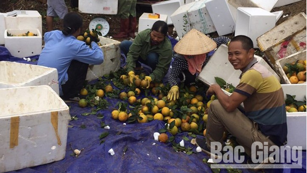Luc Ngan: Over 21,000 tonnes of orange and pomelo sold