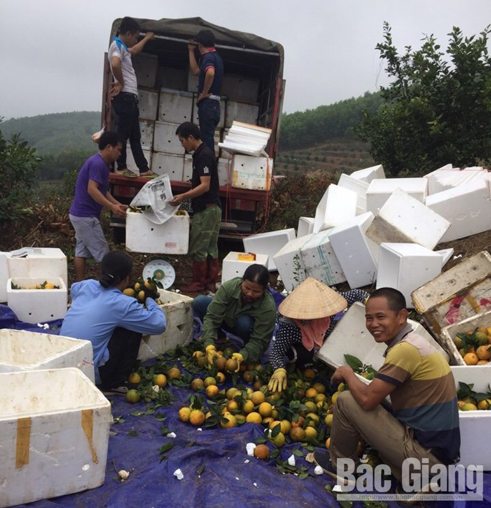 Luc Ngan district, orange and pomelo, Bac Giang province, yellow flesh orange, smooth consumption, fruit fair, domestic and foreign markets