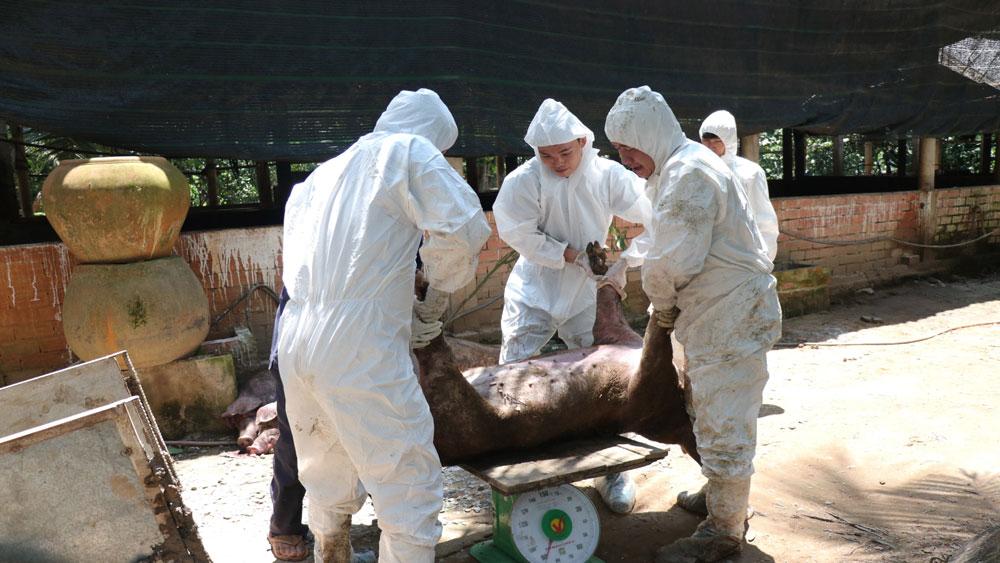 Khởi tố, bắt tạm giam, cán bộ xã, khai khống lợn bị dịch tả lợn châu Phi, nhận tiền hỗ trợ