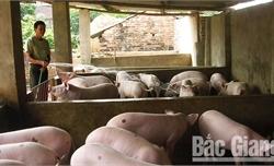 Không tái đàn khi bệnh dịch tả lợn châu Phi chưa qua 30 ngày