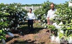 Tân Yên xây dựng vùng  sản xuất ổi hàng hóa