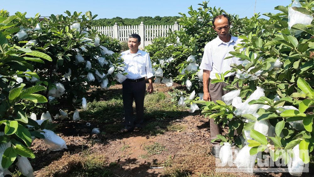 Tan Yen develops commodity guava production area