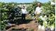Tan Yen develops commodity guava production area