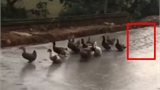 Đàn vịt hồn nhiên đi vào đường vừa đổ bê tông