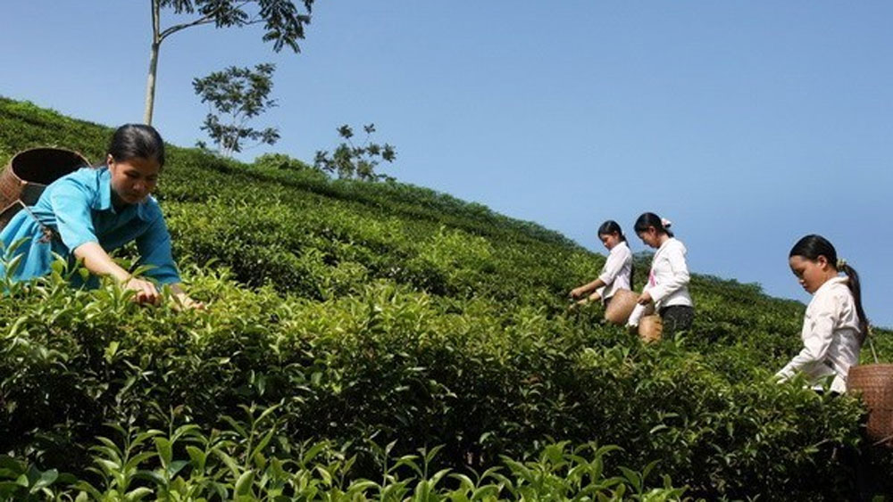 Vietnam exports 14,200 tonnes of tea to Taiwan in nine months