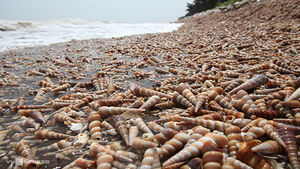 Wonder of nature: snails wash ashore for kilometers in Ben Tre coast