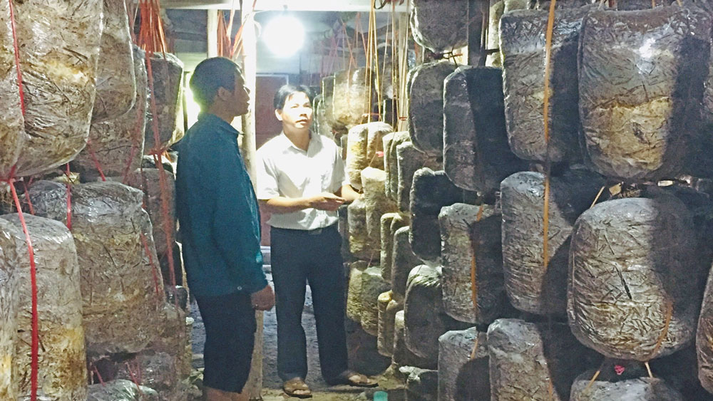 Oyster mushroom cultivation brings high income