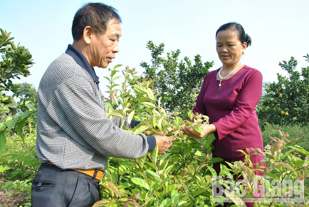 Yen The district, Bac Giang province, OCOP programme, Diversifying products, improving value, One Commune One Product