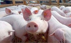 Yêu cầu chống dịch tả lợn châu Phi, gỡ thẻ vàng cho thủy sản