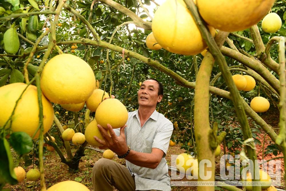 Do được chăm sóc theo quy trình VietGAP nên vườn bưởi Hoàng của hộ ông Nguyễn Hữu Xuyên, thôn Thượng Vũ, xã Quý Sơn luôn có mẫu mã đẹp, chất lượng thơm ngon.