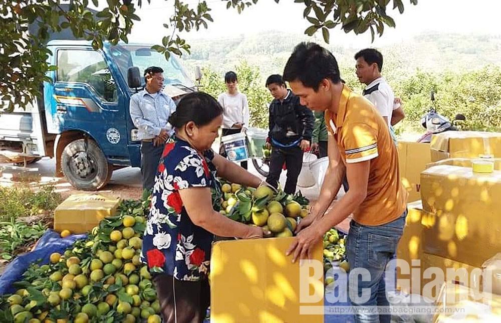 Thương lái đến thu mua cam lòng vàng của gia đình bà Nghiêm Thị Hiền ở thôn Ao Mít, xã Đồng Cốc.