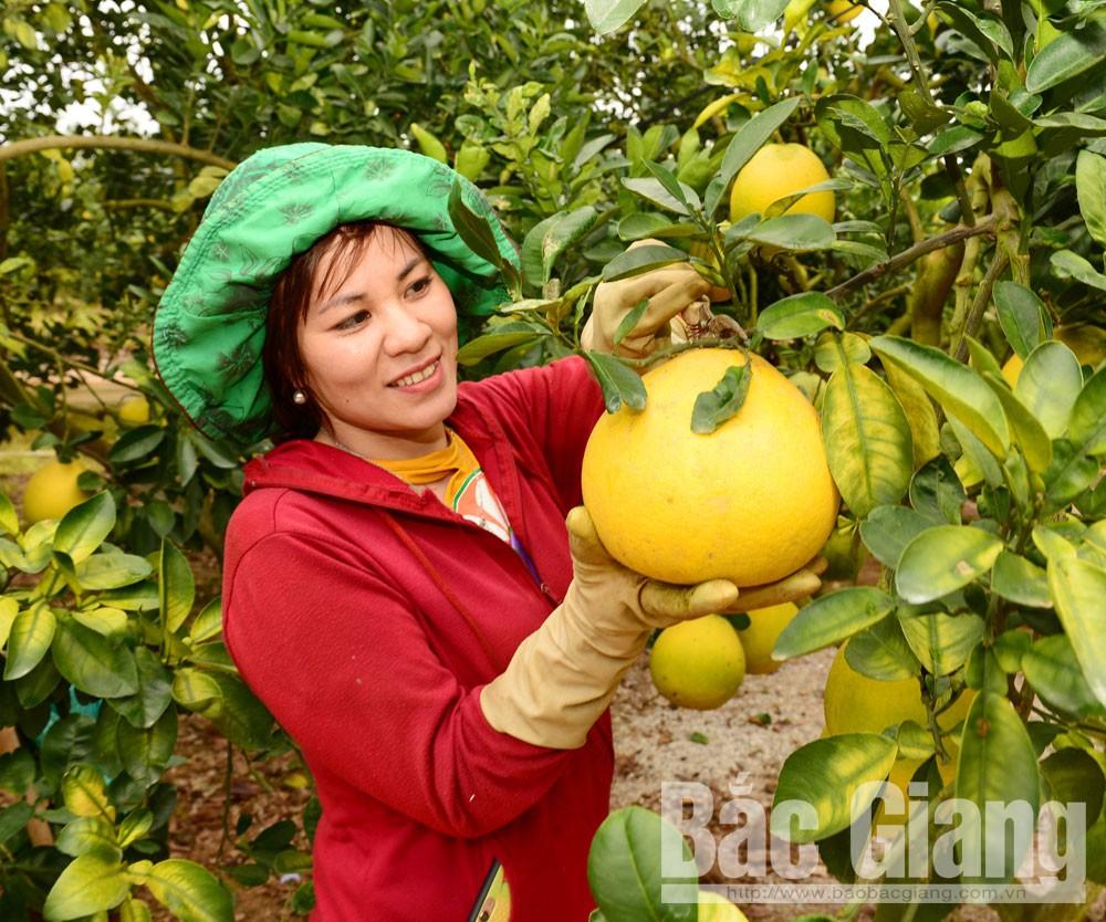 Mỗi ngày, chị Nguyễn Thị Đào - tiểu thương ở Lục Ngạn thu mua hàng chục tấn quả mang đi tiêu thụ ở các tỉnh: Thái Bình, Hà Nội.            Ảnh: Chị Đào đến các nhà vườn giúp người dân thu hoạch bưởi.