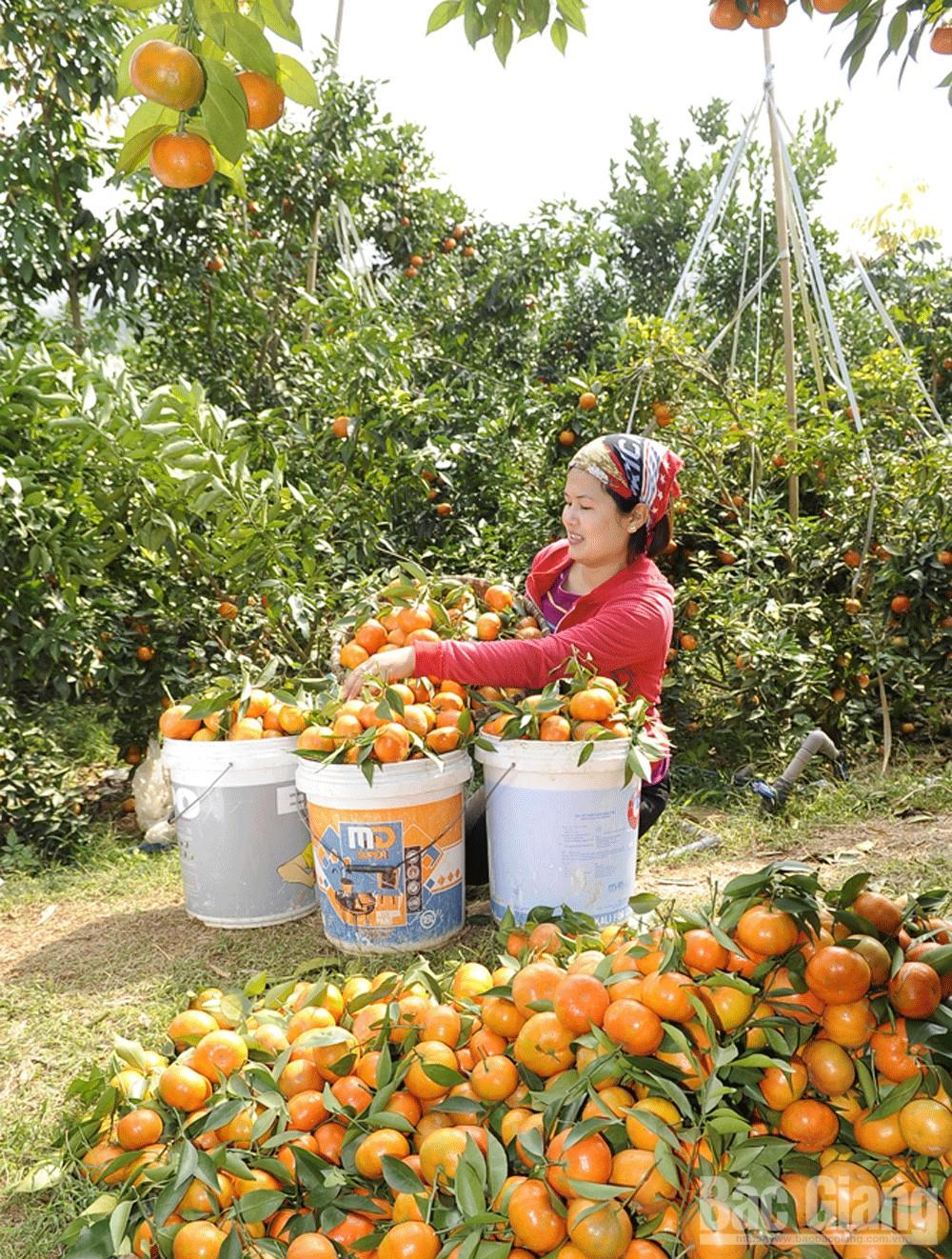 Nông dân Lục Ngạn thu hoạch cam Đường Canh.