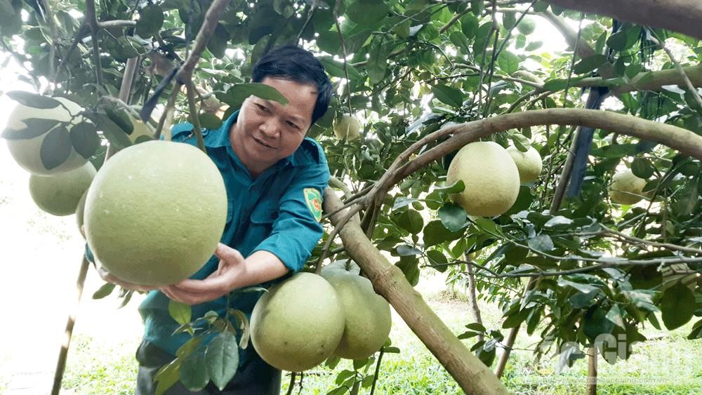 Bưởi da xanh trọng lượng bình quân 3 kg/quả của gia đình anh Trần Văn Bẩy chuẩn bị được giới thiệu trong hội chợ tới.