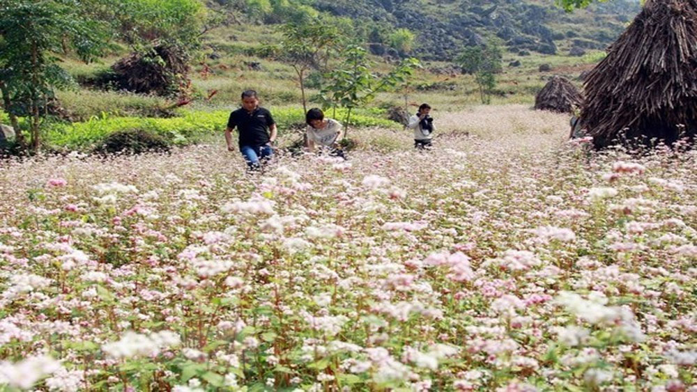 Buckwheat flower festival, Ha Giang province, cultural activities,  tourism products, Ha Giang tourism, combined music