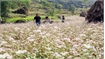 Buckwheat flower festival in Ha Giang