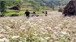 Buckwheat flower festival in Ha Giang