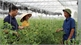 Lạng Giang mở hướng chuyên canh từ cánh đồng mẫu