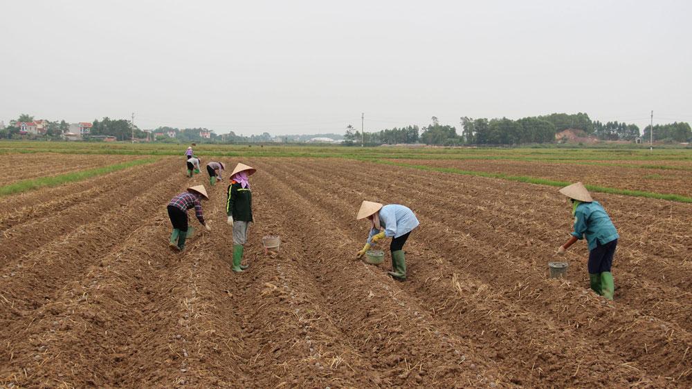 cánh đồng mẫu, Bắc Giang, Lạng Giang, nông thôn mới