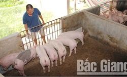 Cơ sở chăn nuôi chưa bị dịch được tái đàn 100% tổng số lợn có thể nuôi