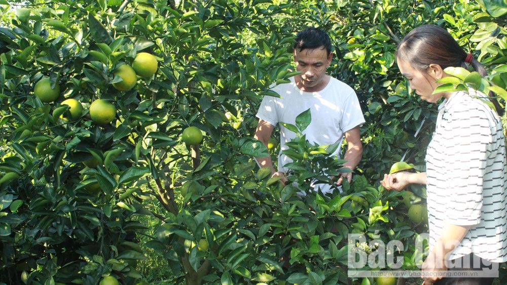 Prospects from disease-free orange intensive farming model