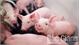 Giá lợn giống tăng rất cao