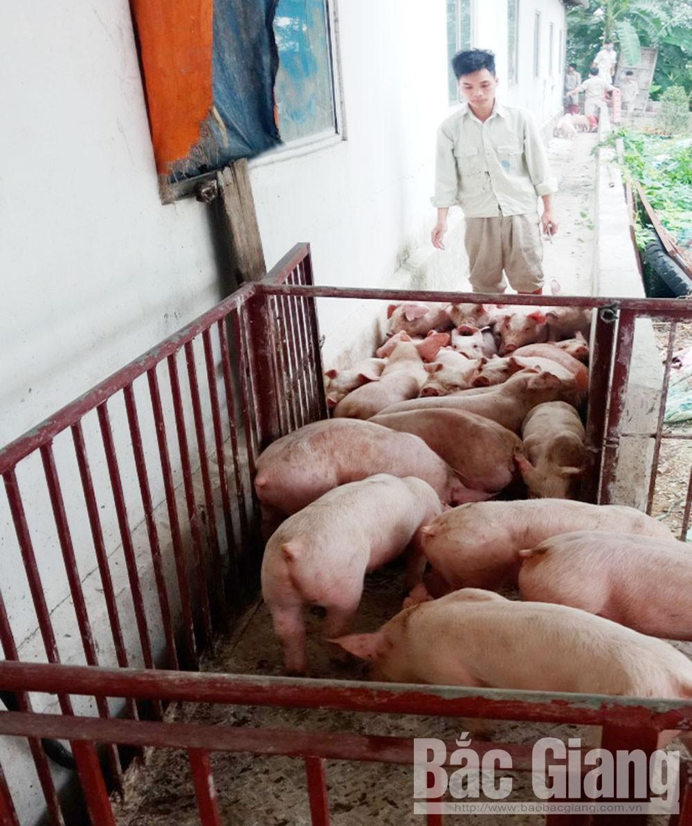 Image - Giá lợn giống tăng rất cao