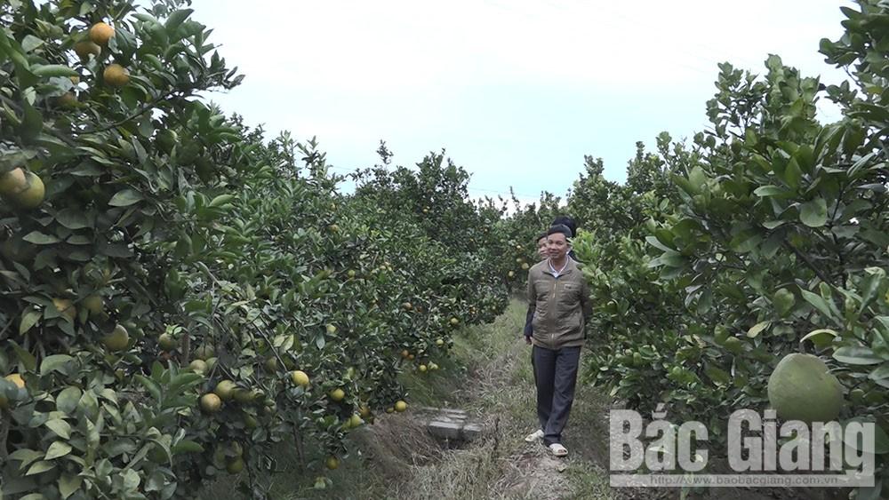 Lục Ngạn, Giá bán cam, tăng hơn, so với cùng kỳ, năm trước, hội chợ, Bắc Giang