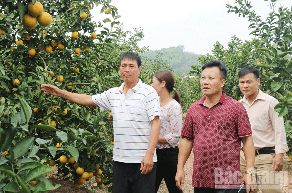 Luc Ngan, Bac Giang province, ripen fruit season, bright yellow, line up trees, harvest season, VietGAP, GlobalGAP, community tourism