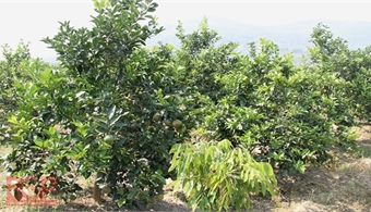Bac Giang farmers cash in on citrus fruit plantation