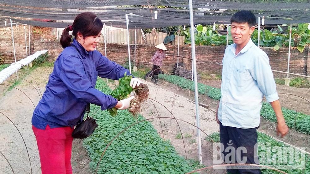 Đỗ Thành Luân, phường Dĩnh Kế, sử dụng phân chuồng, Hệ thống tưới tự động được điều chỉnh, Giá bán hoa cúc giống