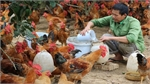 Bac Giang moves to promote Yen The hill chicken brand