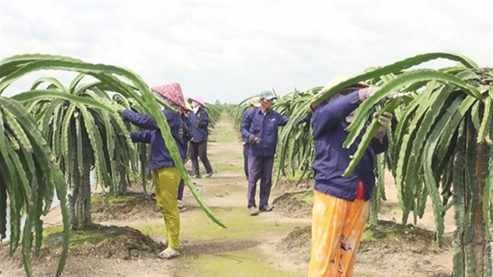 Off-season dragon fruit fetches high price for Tien Giang farmers
